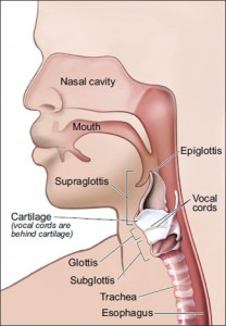 Diagram of the larynx